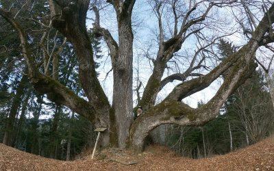 Tiglio di Napoleone: visita all'albero di 350 anni