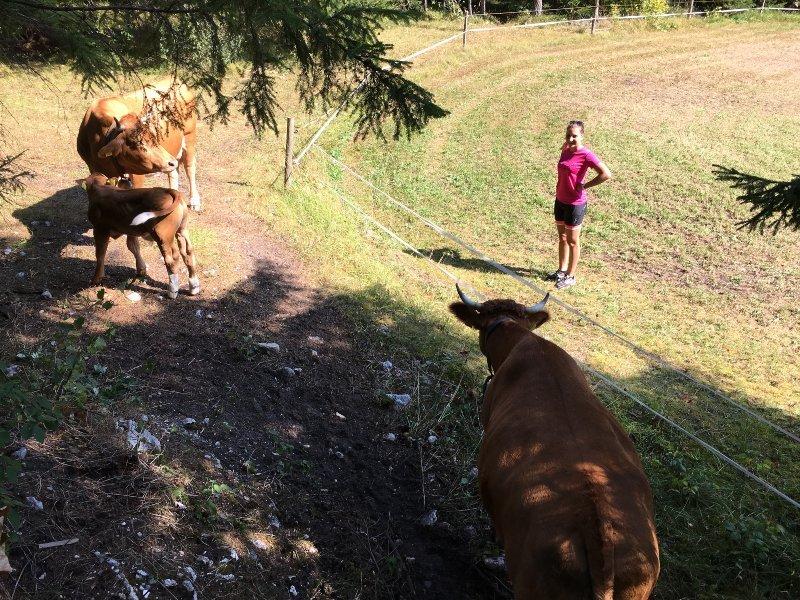Piacevole incontro con delle vacche lungo il percorso